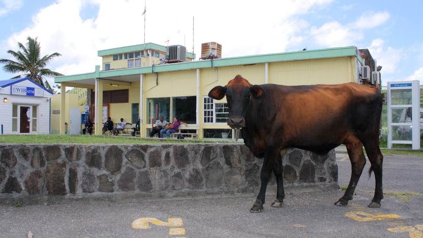 Airport Building St. Eustatius with cow in front